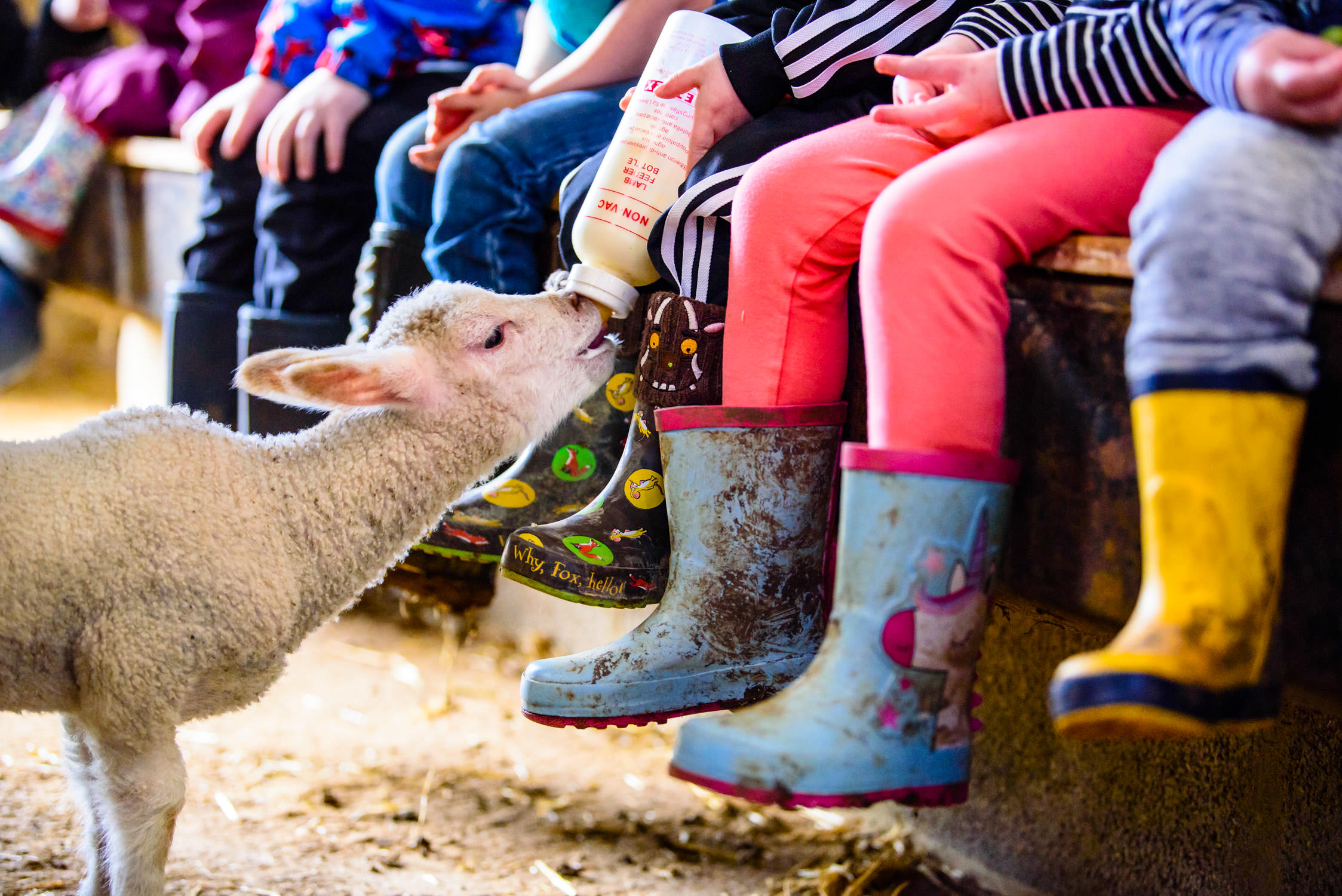 Children feeding a lamb