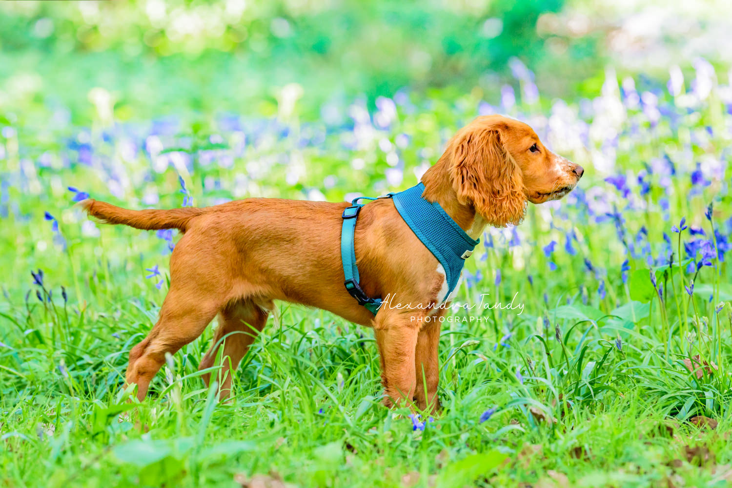 Dog Photographer Banbury
