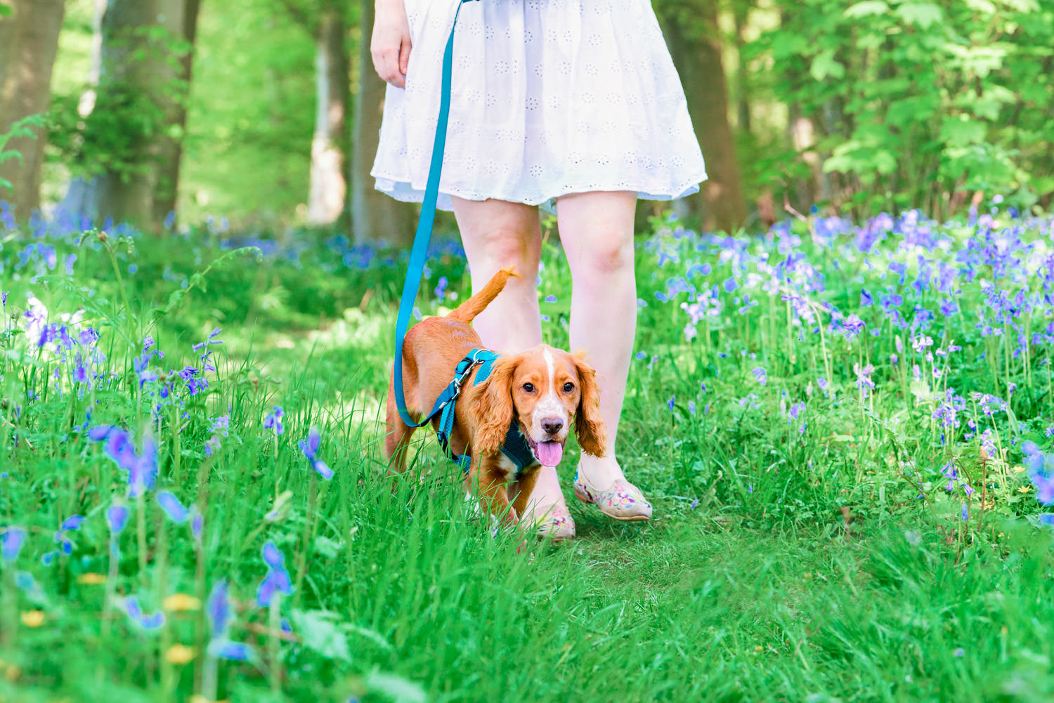 Dog photographer captures image of puppy walking with it's owner through bluebells