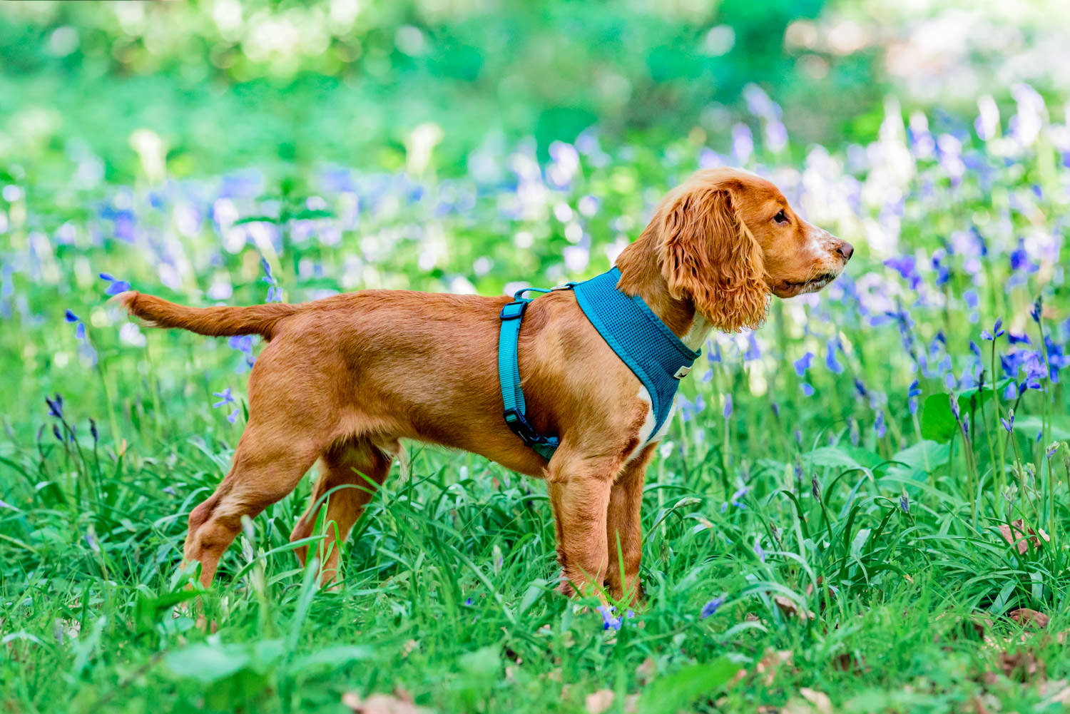 Side portrait of a dog stood in bluebells by dog photographer oxford
