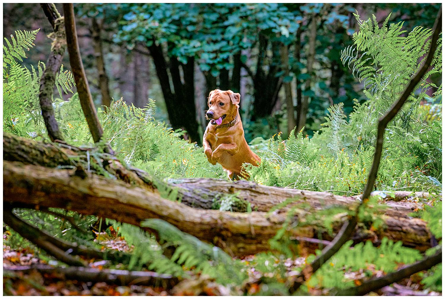 Dog jumping over a fallen tree in a forest