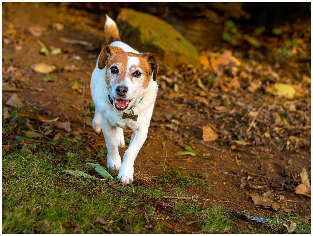 Jack Russel runs towards the camera