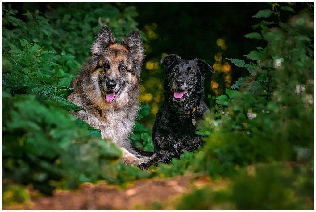 Two German Shepherd Dogs sitting in golden light in a forest