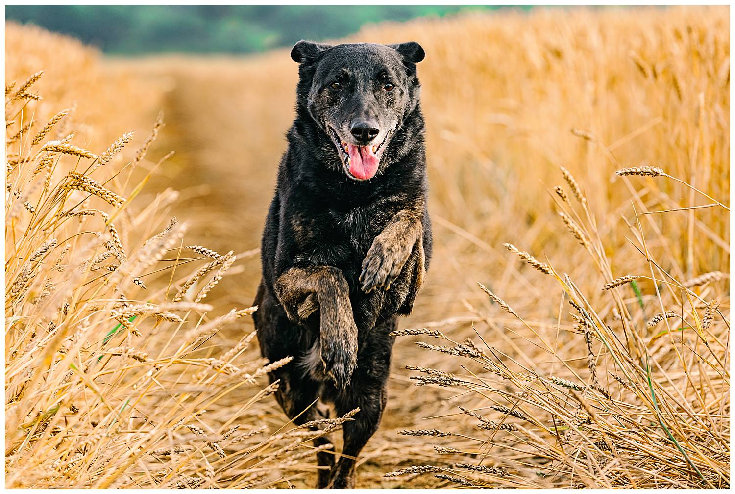 Old dog running towards the camera through a field of wheat