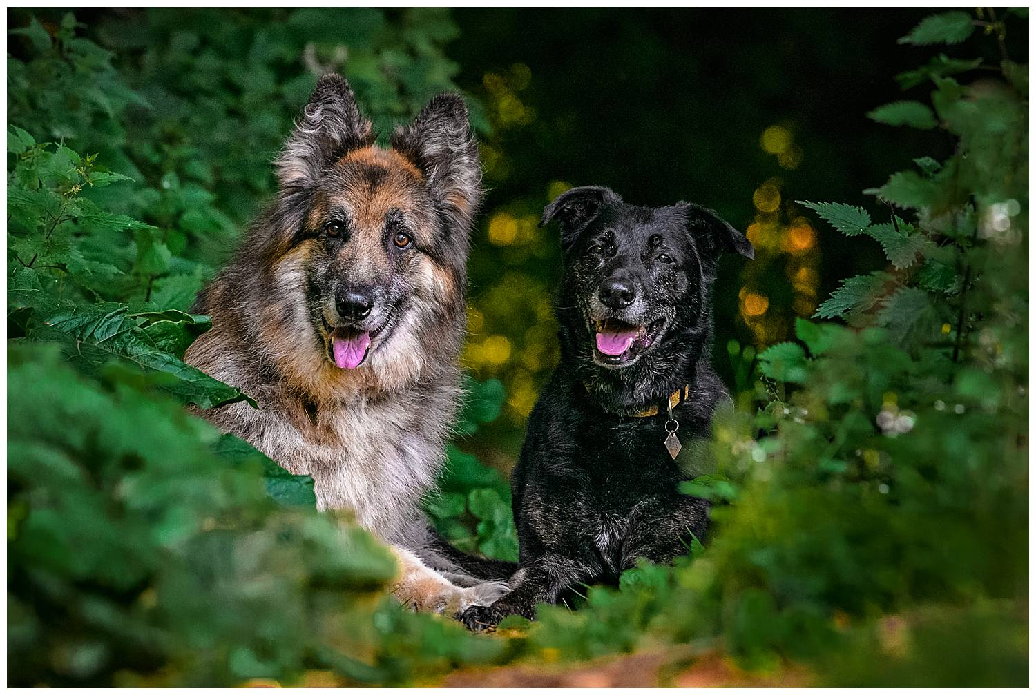 When photographing older dogs it important to let them rest. This portrait photo is of two dogs lying on the forest floor resting