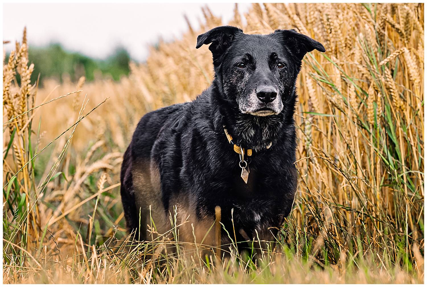 Black dog stood in a field of golden wheat