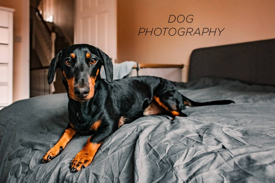 Dachshund Dog lying on a grey duvet cover looking directly into the camera
